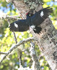 Acorn Woodpecker at Nest