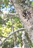 AcornWoodpecker06