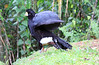 Great Curassow, Male