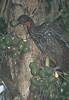 CrestedGuan01