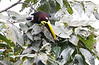 Chestnut Mandibled Toucan, Eating