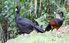 Great Curassow, Male and Female