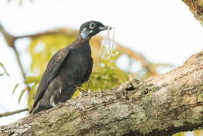 Bare-necked Fruitcrow - Amazon, Ecuador