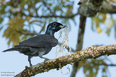 Bare-necked Fruitcrow - Amazon, Ecuador
