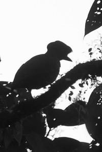 Bare-necked Umbrellabird - Record - Braulio Carillo NP, Costa Rica