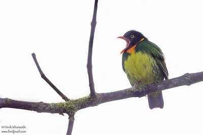 Orange-breasted Fruiteater - Mashpi, Ecuador