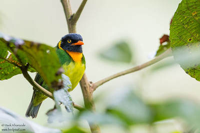 Orange-breasted Fruiteater - Mashpi, Ecuador
