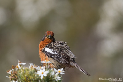 Rufous-tailed Plantcutter - Chile