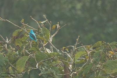 Spangled Cotinga - Record - Amazon, Ecuador