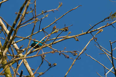 Turquoise Cotinga - Osa Peninsula, Costa Rica