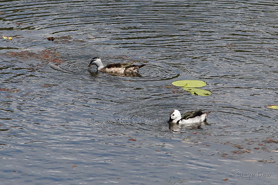 Cotton Pygmy-geese