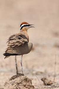 Indian Courser - Kutch, Gujrat, India
