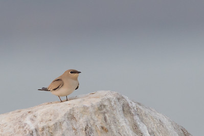 Small Pratincole - Ameenpur Lake, Hyderabad, India