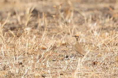 Temminck's Courser - Record - Tarangire National Park, Tanzania