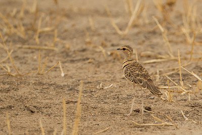 Two-banded Courser - Tarangire National Park, Tanzania