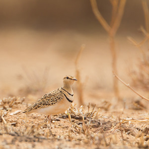 Two-banded Courser - Lake Manyara National Park, Tanzania