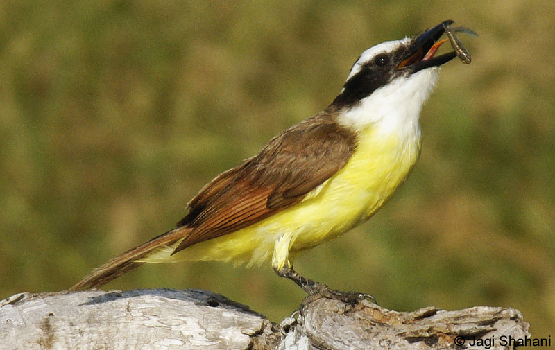 Kiskadee4-fish2 copy