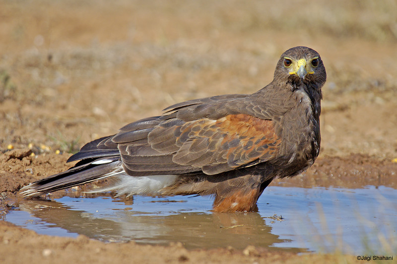 Harris_Hawk-5 copy