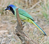 GreenJay2 copy