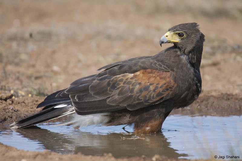 Harris_Hawk-8 copy