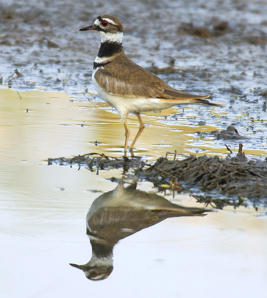 Killdeer5 copy
