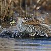 Australian Spotted Crake (Porzana fluminea) bathing