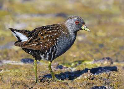 Crakes, Rails and Swamphens