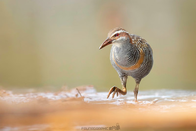 Buff-banded Rail