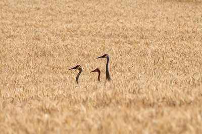 In the wheat field.