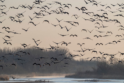 Sandhill Cranes takeoff.