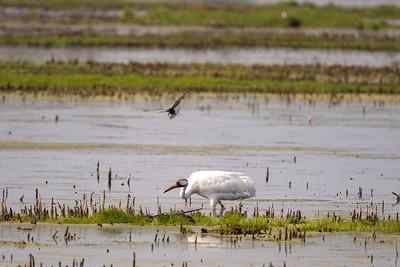 Black tern harasses Whooping crane.