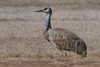 SandHill Cranes (b2014)