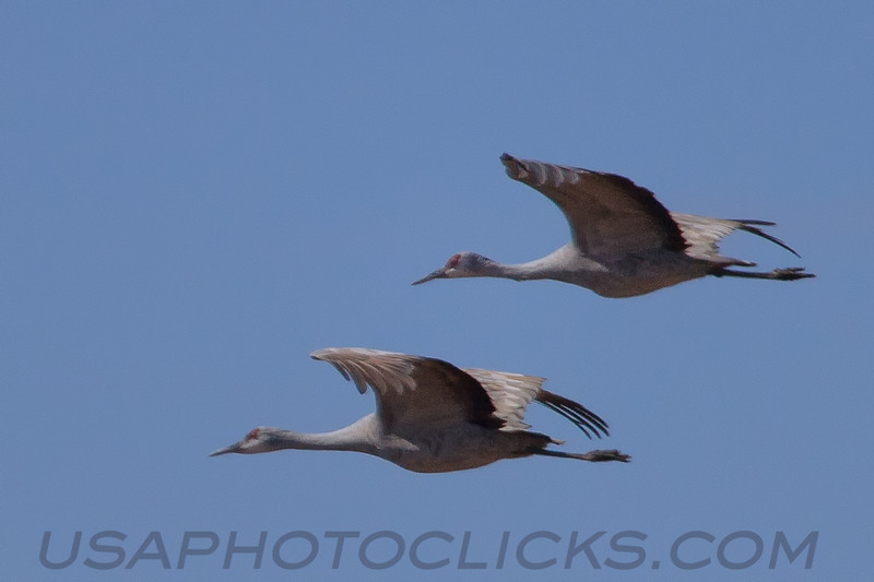 SandHill Cranes (b2013)