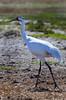 Whooping Crane (b0311)