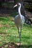 Whooping Crane (b0312)