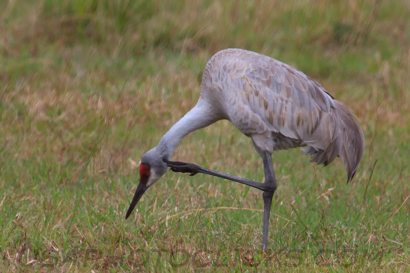 SandHill Crane (b2015)