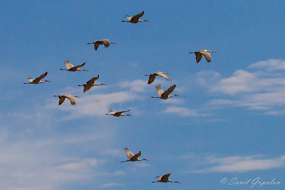 Sandhill Cranes Migrating - in flight. Nine Springs - Madison, WI