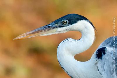 Coicoi Heron
