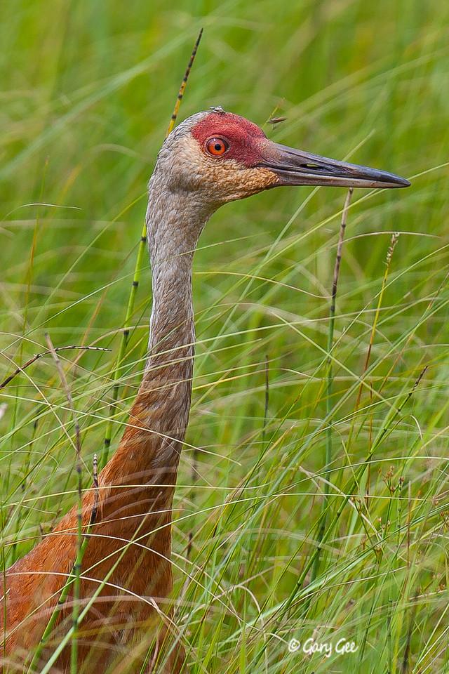 Sandhill Crane Seney National Wildlife Refuge, Seney, MI