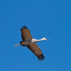 Flying and calling Sandhill Crane