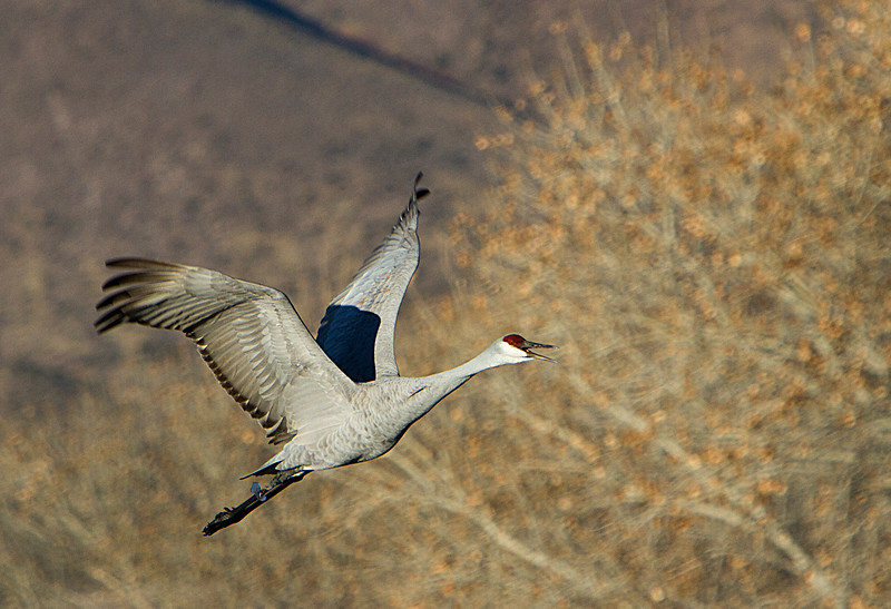 Sandhill Crane with ice anklet