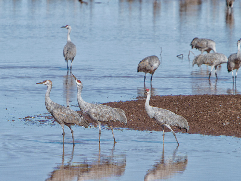 Sandhill Crane family (Juvenile and 2 adults in order)