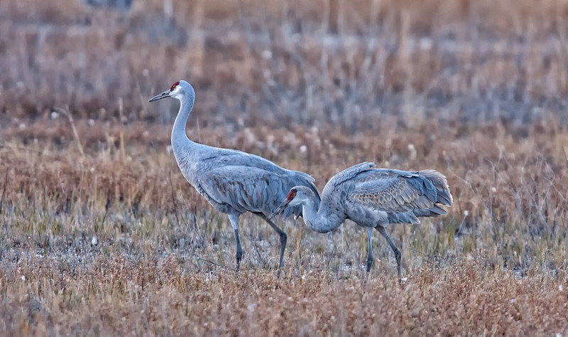 A pair of Sandhill cranes feeding