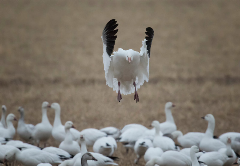 Front view of landing snow goose