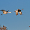 Sandhill Cranes at tree top
