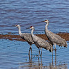 Sandhill crane family at waters edge in Whitewater draw