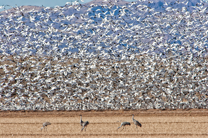 Snow geese with Sandhill cranes in front