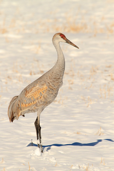 Sandhill crane in snow