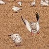 Snow goose landing at Bosque del Apache