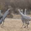 Sandhill cranes in heated discussion